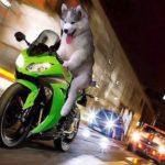 「おもしろ犬」中に人間入っているだろう・犬はバイクを運転ができるのか?