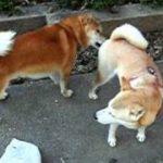 柴犬のお見合い その2 交配2回目