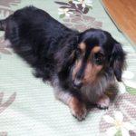 Cute dog 癒し犬#1 ミニチュアダックスフンド Miniature Dachshund