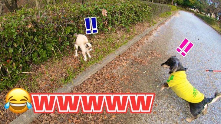 犬も猫もビックリww~今日のお散歩~【ミックス犬くう】Mixed breed dogs Qoo