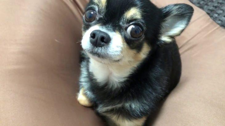 【おもしろいチワワ】可愛いチワワがカメラ小僧にガチキレ!