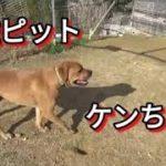 闘犬土佐ピット ケンちゃん・・相談者様への回答 Dog Rescue A&R