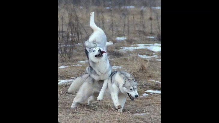 「最高におもしろ犬」 かわいいハスキー犬のハプニング, 失敗動画集