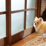 【けな気な犬の姿がカワイイ】お願いチワワ!ドアを開けてほしい!