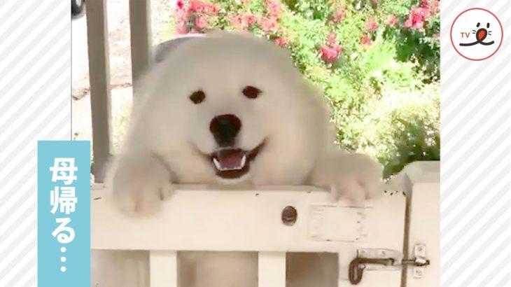サモエドママがお出かけから帰って来た❣️ 久しぶりの再会に歓喜する親子犬【PECO TV】