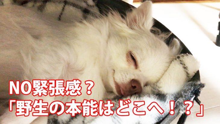 まったく緊張感のない犬!チワワ「relax」/dog
