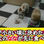 ななと五郎の食事のルール。Nana and Goro meal rules  ポメラニアン&フレンチブルドッグ Pomeranian & French bulldog