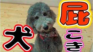 おなら犬、スタンプー!3分間で何発の屁をこくか検証してみた Farting Standard poodle