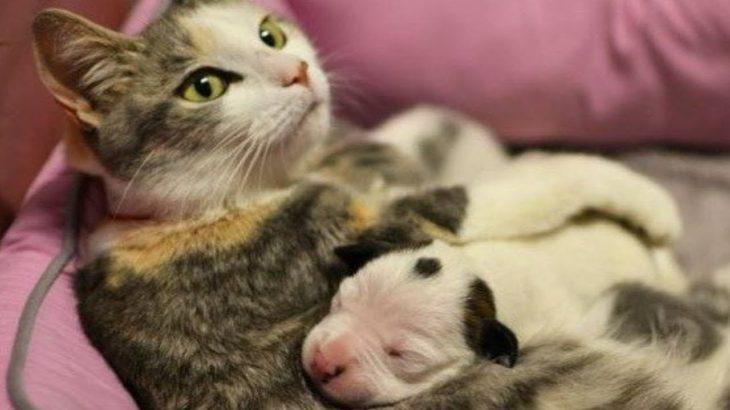 子犬, 子アヒルを自分の赤ちゃんだと思っている猫・超かわいい