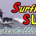 ボーダーコリー犬とサーフィン女子がSUPで波乗り3🌊Border Collie Dog & Surfer Girl Surfing