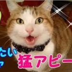 鳴き声がかわいい面白い猫 カリカリが食べたくてめちゃ甘えてくる!猫と会話・・・うちの猫ちゃんたちカワイイTV