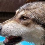 カッコいい狼犬のデレ顔がこれだ!