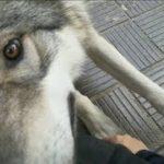 狼犬が「触って」とおねだりしてきた!