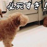 たまごボールは誰の手に!必死に追いかける姿がカワイイ! トイプードルのTaruto&Rasuku