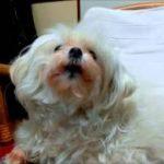 歌う犬☆マルチーズ☆ミユのお歌♪