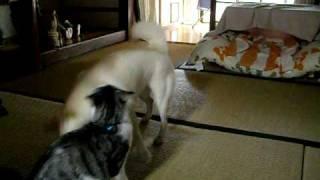猫vs犬 猫強し!