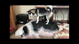 「面白い動物」あり得ないことをする犬, 猫・おもしろ犬, 猫のハプニング, 失敗集 #218