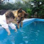 「感動」人間の子供を必死で守るジャーマンシェパード犬たち