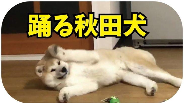踊る秋田犬らんぷ。ちゅーぶくんの挑発にのっちゃったね!