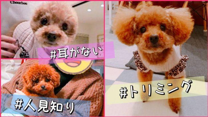 Rasuくんは人見知り!?Taruちゃんの耳が・・!? トイプードルのTaruto&Rasuku