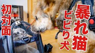 ビビリの子犬が暴れ猫と初対面した結果…