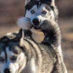 「6秒で笑える」笑わないようにして・最高におもしろハスキー犬のハプニング集