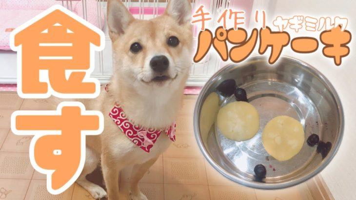 柴犬 豆柴 成犬 2歳 麦 手作りヤギミルクパンケーキを食す!