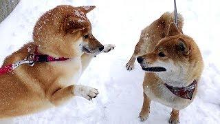 美女犬2匹のじゃれ合い模様 (柴犬 可愛い) Shiba Inu dancing together
