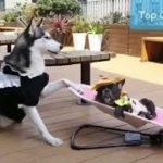 「面白い動物」あり得ないことをする犬, 猫・おもしろ犬, 猫のハプニング, 失敗集 #253