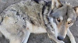 狼犬のモフモフが終了間近?!
