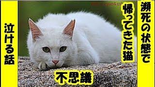 不思議 泣ける話・瀕死の絶命寸前状態で生まれた家に 帰ってきた白猫の不思議なお話・招き猫ちゃんねる