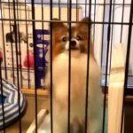 【パピヨン犬】カワイイ!!ちょうだい!ちょうだい!