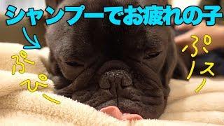シャンプーで疲れて鼻がめっちゃスピースピー言ってる犬