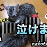 【感動】子猫が遊び出したおもちゃに涙が止まらない。猫犬の泣ける話