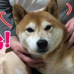柴犬リキ🐕 ナデナデされてウットリなのに急にママに警戒するリ~ワン(笑)
