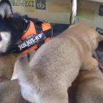 🐕柴犬の出産🐕母犬の役目に感動 子犬達とお別れ🐕