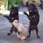 「かわいい犬」1日笑らっちゃう・パグ犬の最高におもしろハプニング, 失敗動画選