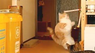 吹き戻し(ぴろぴろ笛)で猫をビックリさせてみた/Cat surprised to party horn(マンチカン菊之助)