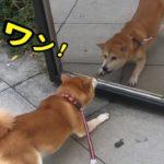 柴犬小春 【なんだちみは】鏡の中の自分と喧嘩勃発!