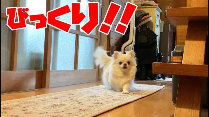 突然のカメラにビックリする犬!チワワのコハク2連発