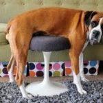 動物のハプニング 運動神経の悪いイヌたち[おもしろペット映像]