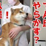 【京の柴犬】てんちゃん、一線を越える⁉ 太郎の犬モノガタリ#110