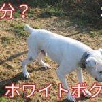 なぜ殺処分?ホワイトボクサー初日!Dog Rescue A&R