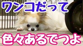【人生いろいろ】たまに一人で物思いにふける子犬チワワのティーナ【かわいい犬】【chihuahua】【cute dog】【ペット動画】