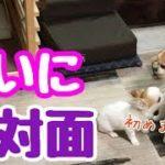 【puppy dog】子犬が初めて我が家にやってきた【かわいい犬】【chihuahua】【cute dog】【ペット動画】