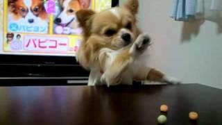 おもしろい犬チワワ おやつ食べたい!!.MOV