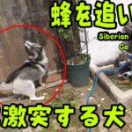 蜂を追いかけ壁に激突するハスキー犬 Husky Puppy