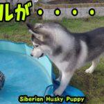 ボールがプールに入って興奮してるハスキー犬がかわいい Husky Puppy