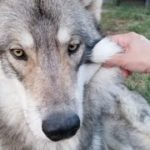 何をされても怒らない狼犬
