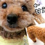 Rasuくんのブラッシングと、甘え方が可愛いTaruちゃん! トイプードルのTaruto&Rasuku